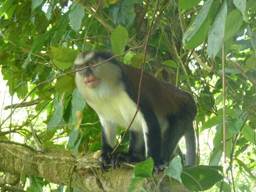Monkey Grand Etang National Park