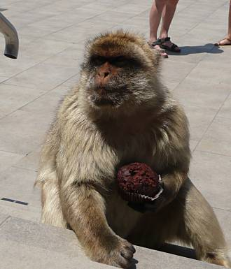 Barbary Ape plus muffin